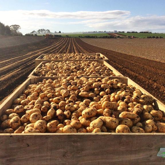Harvested potatoes from Bhana Family Farms.