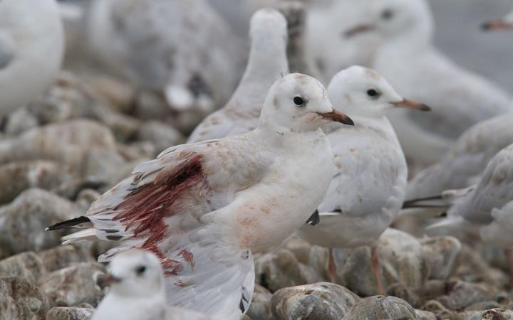 A gull injured by people driving 4WDs through their colony in North Canterbury.