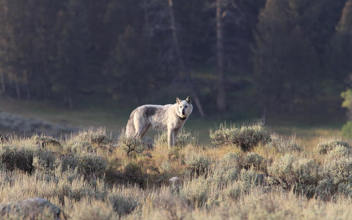 A wolf in Yellowstone National Park.