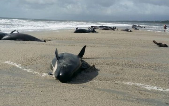 A pod of pilot whales are stranded on a remote beach on the West Coast of the South Island.
