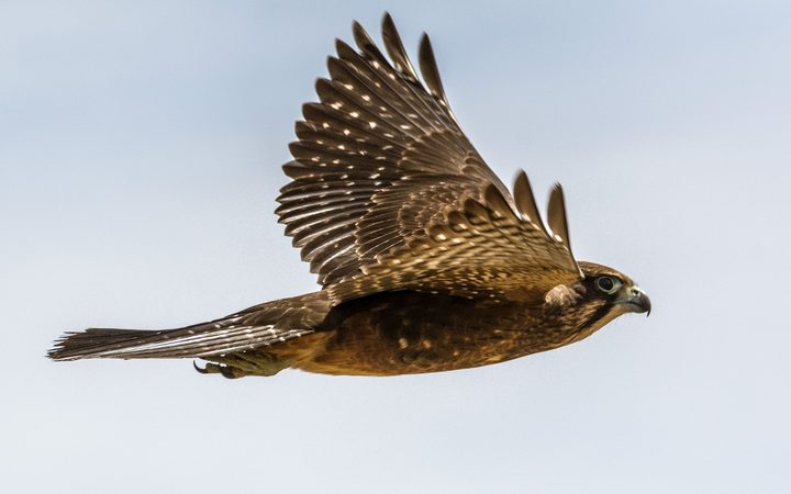 NZ falcons are superb fliers, capable of reaching high speeds as they pursue small birds.