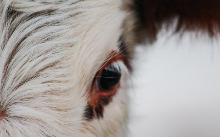 part of cow head, animal face looking into camera