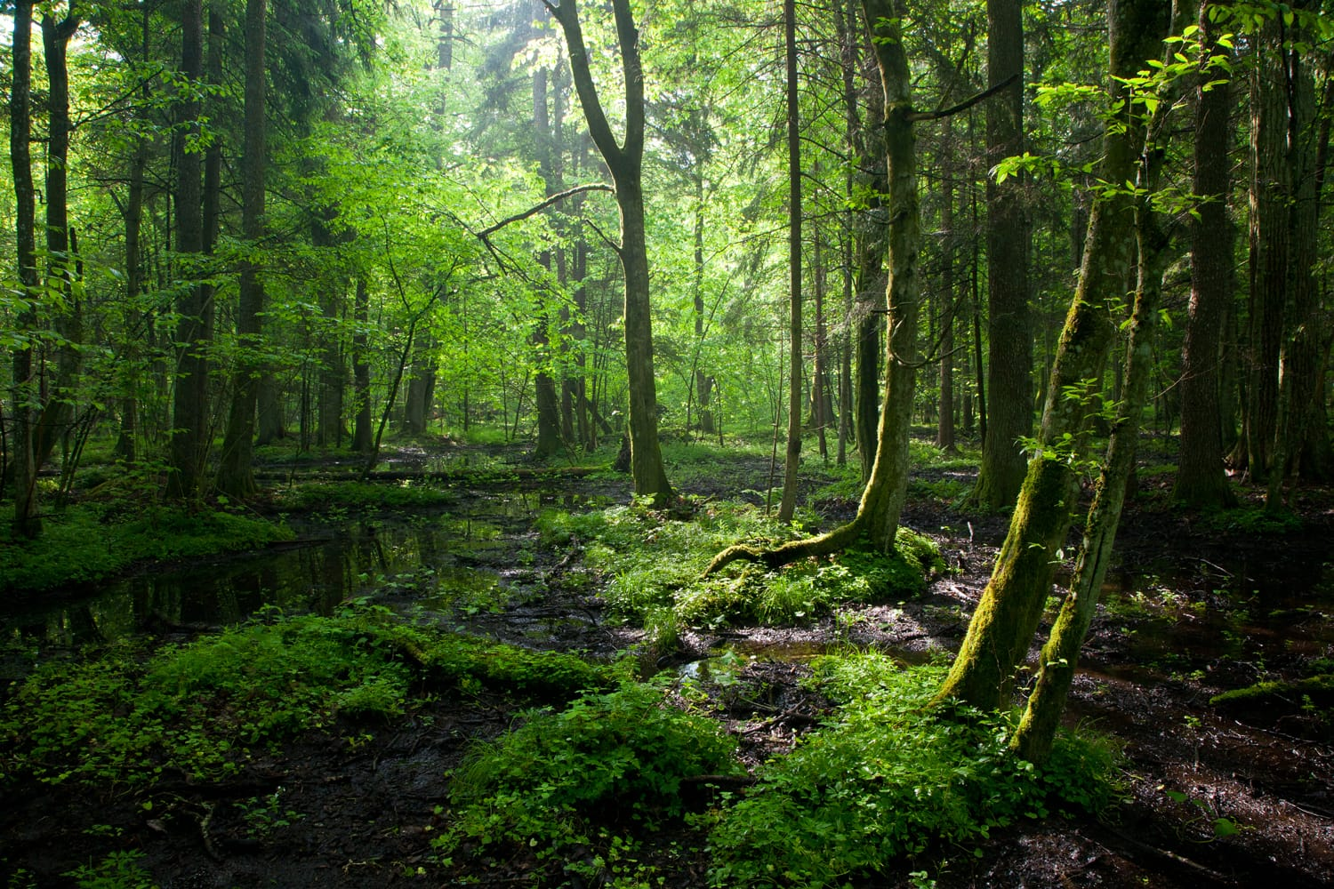 Bialowieza Forest in Poland and Belarus