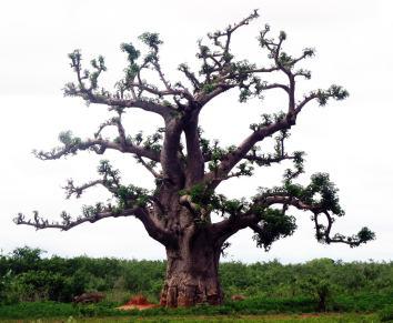 federico-bartolini-transafrica-primo-baobab-senegal