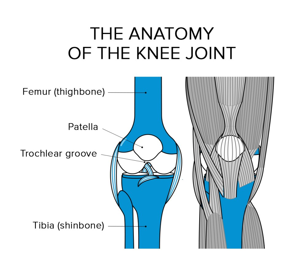 medium resolution of to understand how runner s knee happens we need to take a quick peek at the human anatomy unlike most bones in your body the kneecap is pretty funny