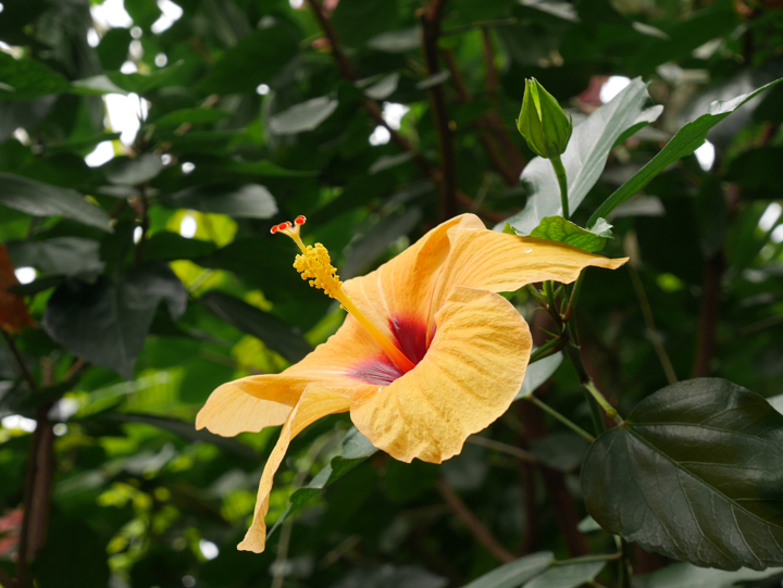 Kew-Garden-London-UK-Palm-House-Hibiscus