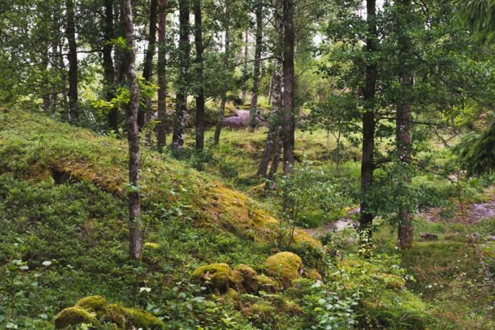 Tanum rock carvings - Sweden - forest Vitlyckehällen