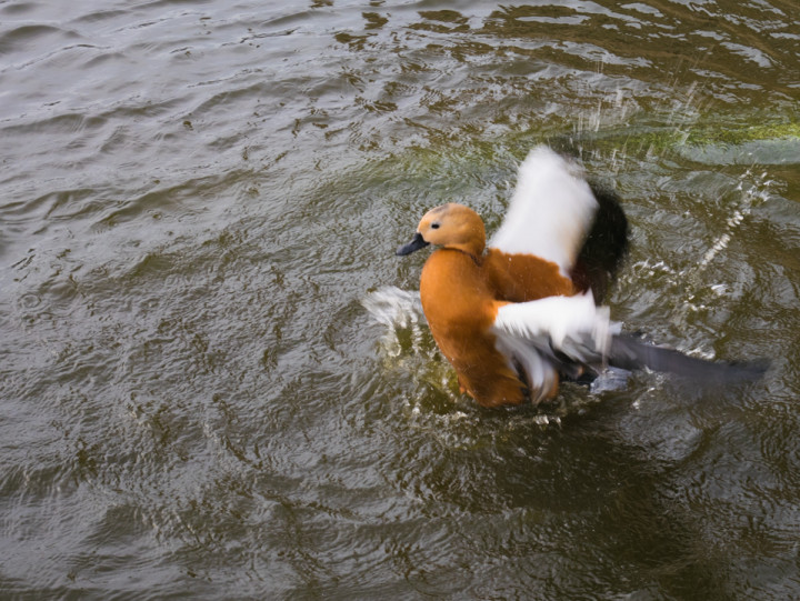 A cute duck playing in the moat of the Dukes of Brittany's Castle in Nantes, France