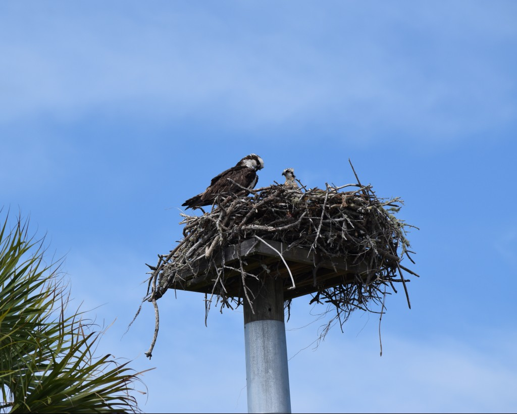 Osprey at Barefoot Beach Preserve