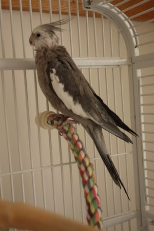 Cockatiel #1 is 26 years old!
