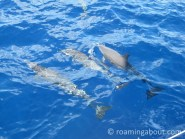 Dolphins off Irie's bow in the Caribbean Sea