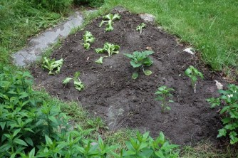 We planted lettuce, eggplant and peppers in this little plot - cherry tomatoes, snap peas and basil elsewhere