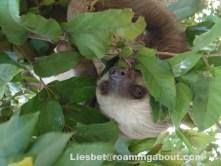 Sloth in Panama