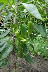 Productive green pepper plant