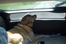 Jenny gets comfortable - she is such an easy dog to travel with