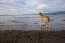 Hercules wading in Lake Tahoe