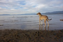 Hercules wading in Lake Tahoe
