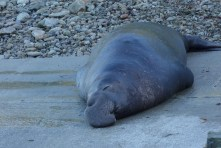 Sleeping elephant seal
