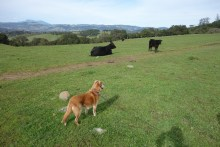 "Lola is a bit apprehensive when meeting ""wild"" cows"