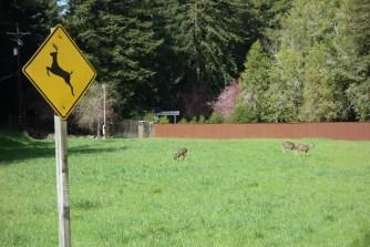 The deer love to graze in this area