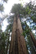 The redwoods are high and straight