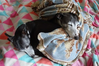 Snuggly Italian greyhounds Frida and Elvis