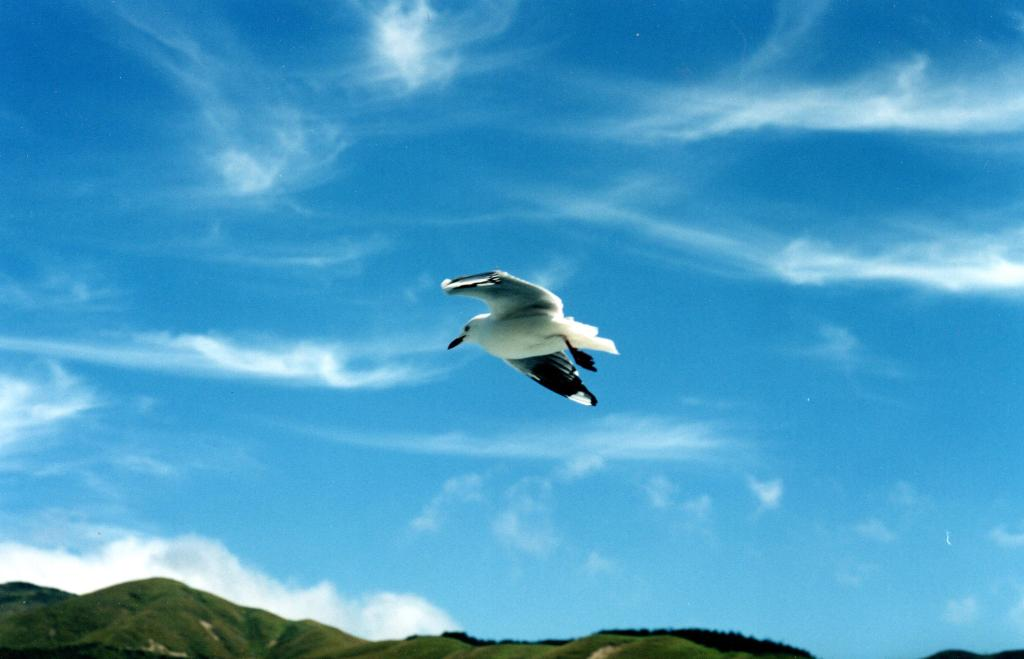 Seagull flying above the top of the South Island of New Zealand - Rob Gregory Author