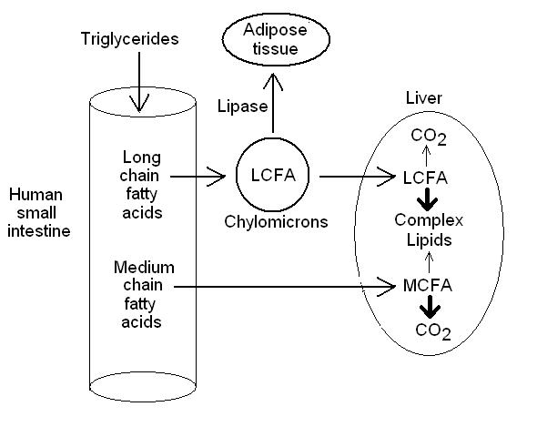 Medium Chain Triglyceride Metabolism