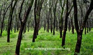 Rubber plantation in Vichundrem