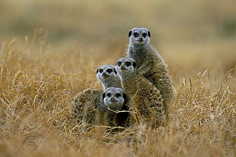 Meerkats (suricates) (Suricata suricatta), Greater Addo National Park, South Africa, Africa
