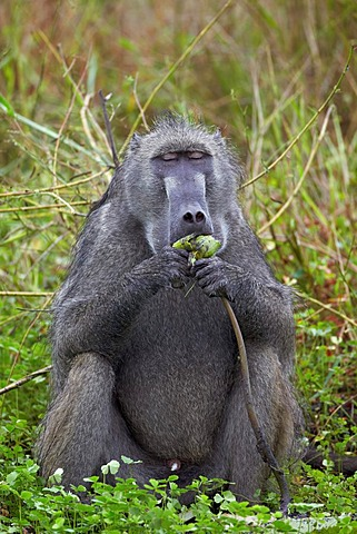 Adult male Chacma Baboon (Papio ursinus) eating a water lily tuber, Kruger National Park, South Africa