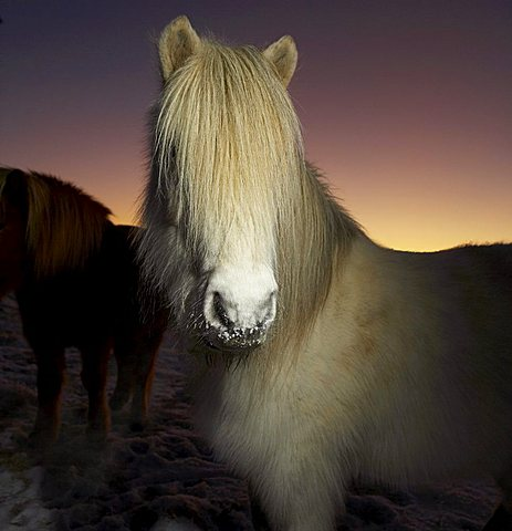 Icelandic Pure Breed Horse, winter coat, Iceland, Polar Regions