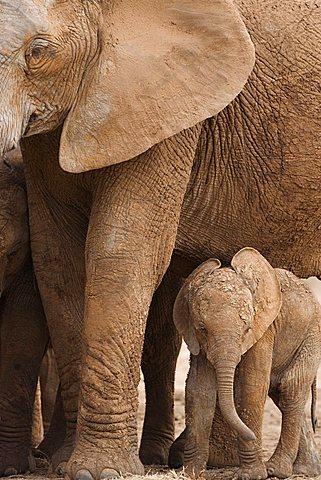 Elephant and baby (Loxodonta africana), Addo Elephant National Park, Eastern Cape, South Africa, Africa