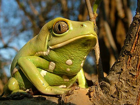 Close-up of a Waxy monkey tree frog (Phyllomedusa sauvagii) sitting on a branch, Gran Chaco, Paraguay