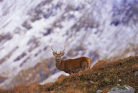 Red deer stag in the Highlands in February, Highland Region, Scotland, UK, Europe