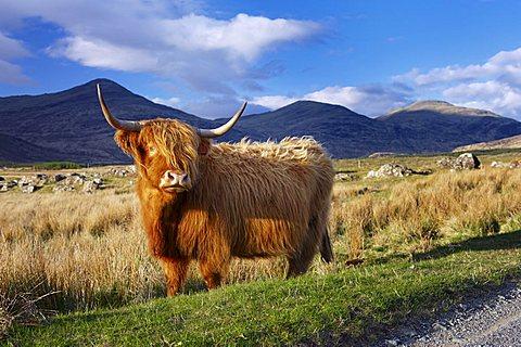 Highland cattle, Isle of Mull, Inner Hebrides, Scotland, United Kingdom, Europe