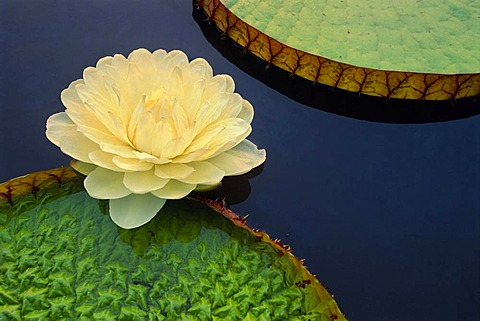 Giant water lily, Victoria regia, Pantanal, Brazil