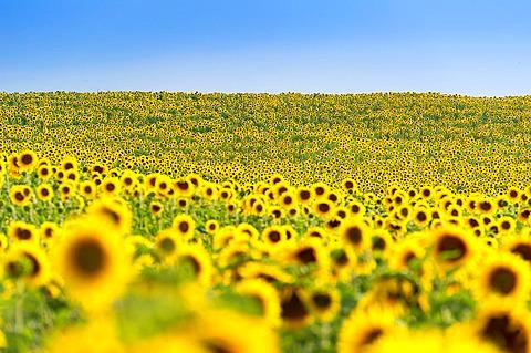 Europe, France, Alpes-de-Haute-Provence, 04, Regional Natural Park of Verdon, Valensole. Field of sunflowers.
