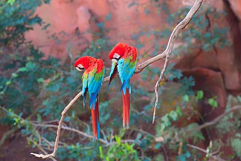 Red-and-green Macaws (Ara chloropterus) perched on a branch in Buraco das Araras, Mato Grosso do Sul, Brazil
