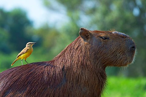 Capybara (Hydrochaeris hydrochaeris) and White-Throated Kingbird (Tyrannus albogularis) on the back,Pantanal Mato Grosso,Brazil