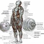 muscles-used-deadlift.300x250.29891