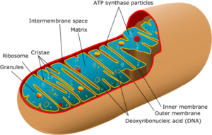 300px-Animal_mitochondrion_diagram