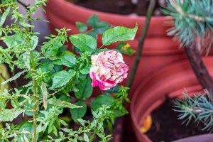 Solamente una rosa
