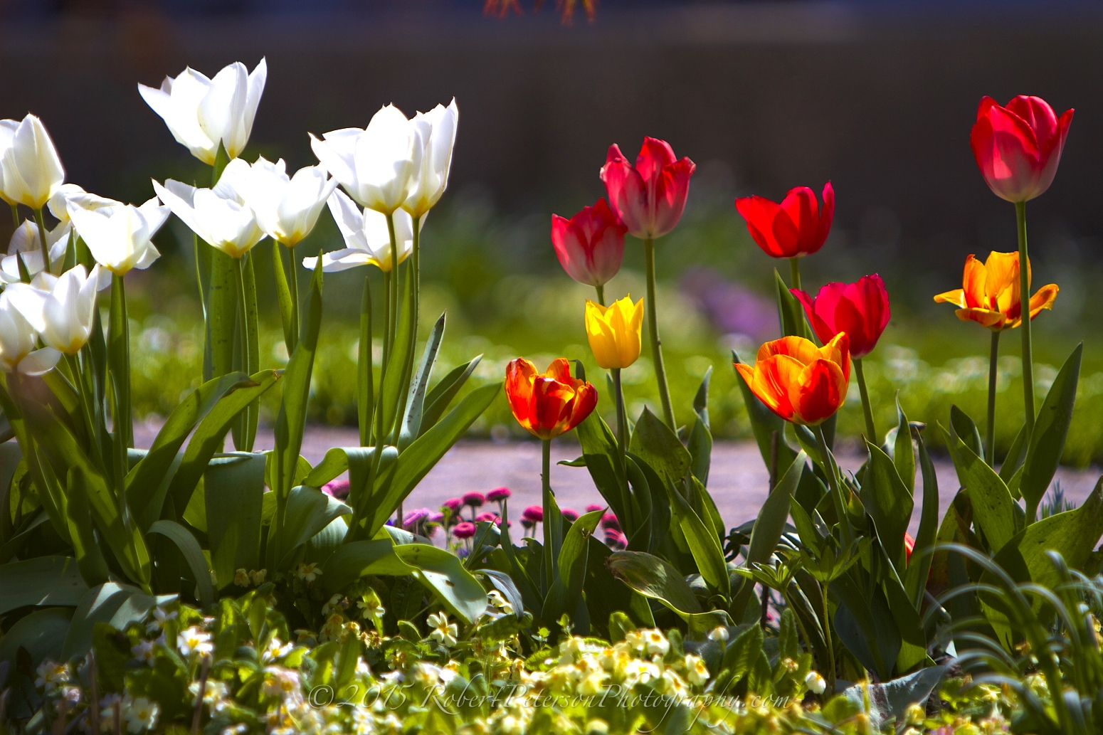 2015-04-15 Tulips Robert Peterson Photography-12m 1550pxRPP