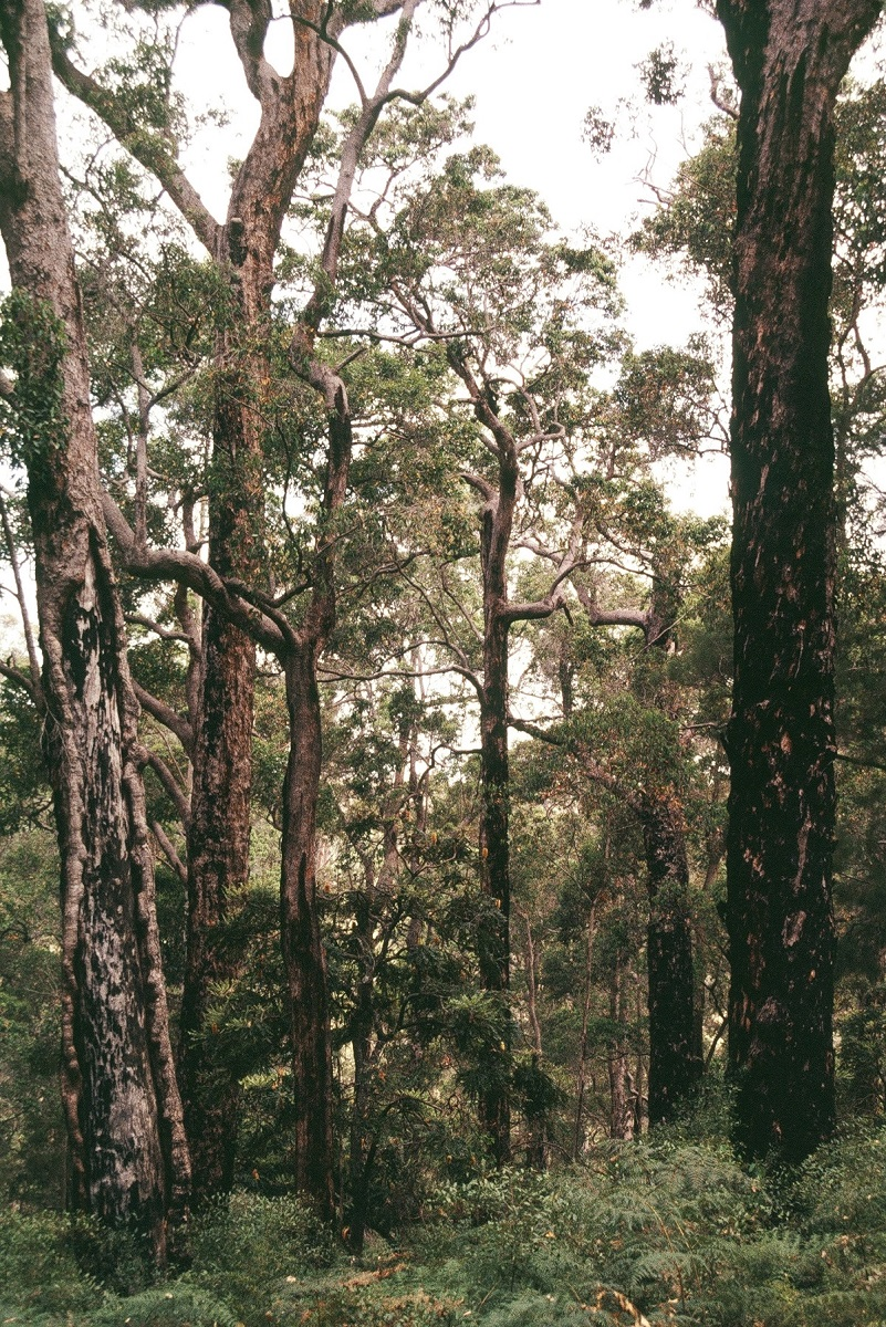 Marri Corymbia calophylla  Robert Powell Tree Pictures