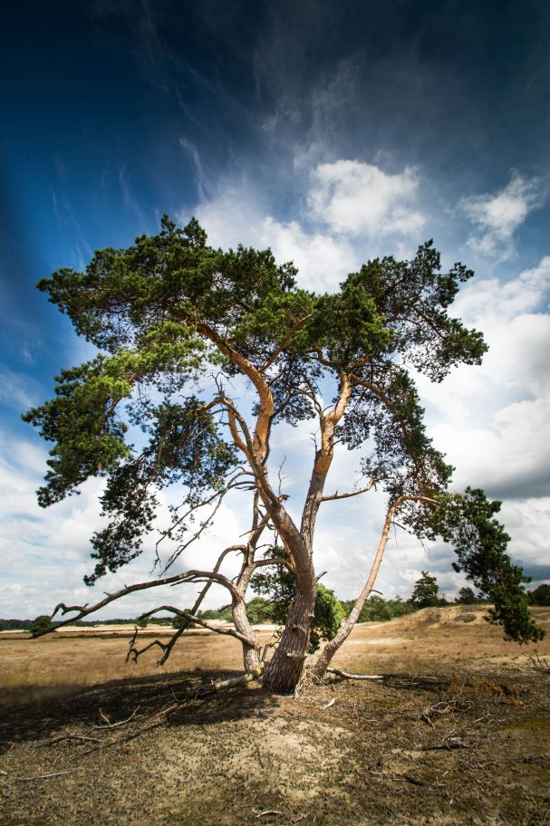 Hulshorsterzand - desolate boom