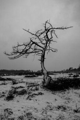 Dode boom in sneeuw bij Radio Kootwijk