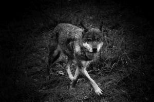 Wolf in Skandinavisk Dyrepark