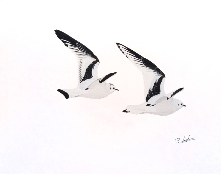 Ross's and Little Gull