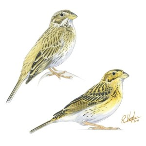 Corn_Bunting_singingprint